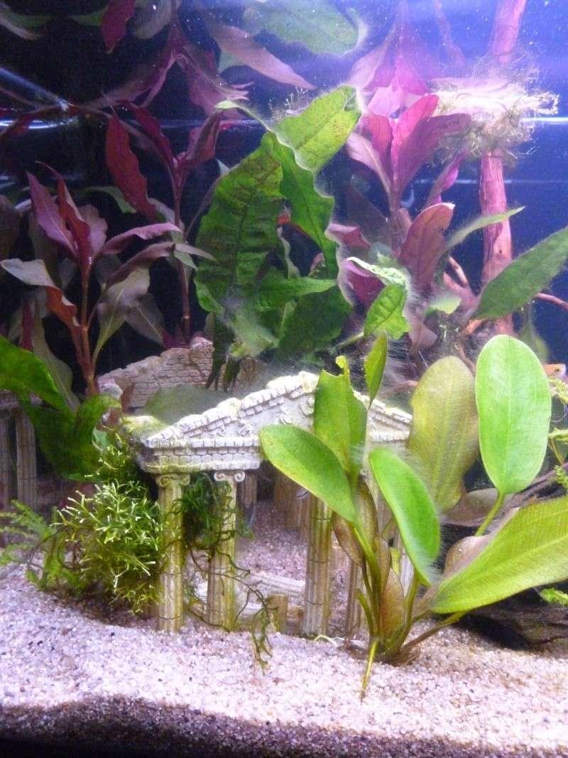 Mon premier aquarium 54L, type amazonien P1030916