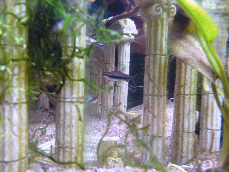 Mon premier aquarium 54L, type amazonien P1030917