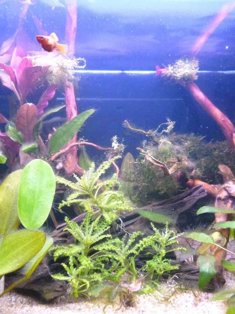 Mon premier aquarium 54L, type amazonien P1030918