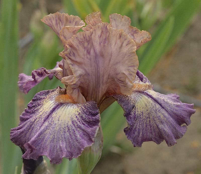 Iris au nom incorrecte _dsc2217