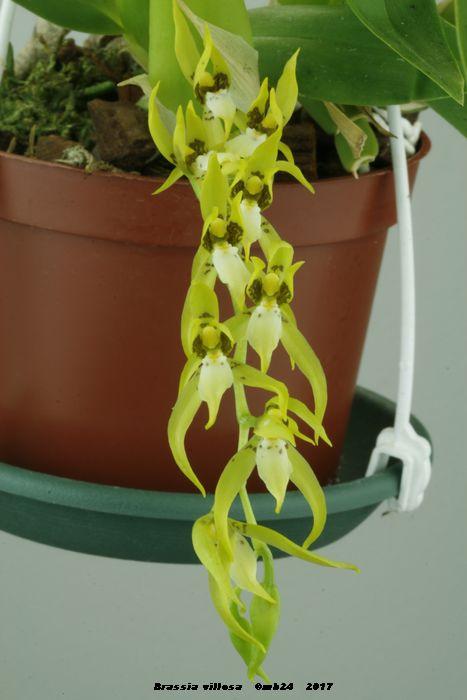 Brassia villosa Brassi10