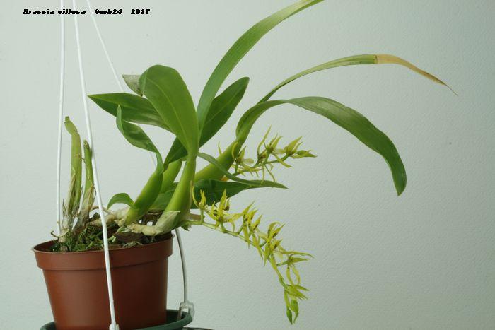 Brassia villosa Brassi11