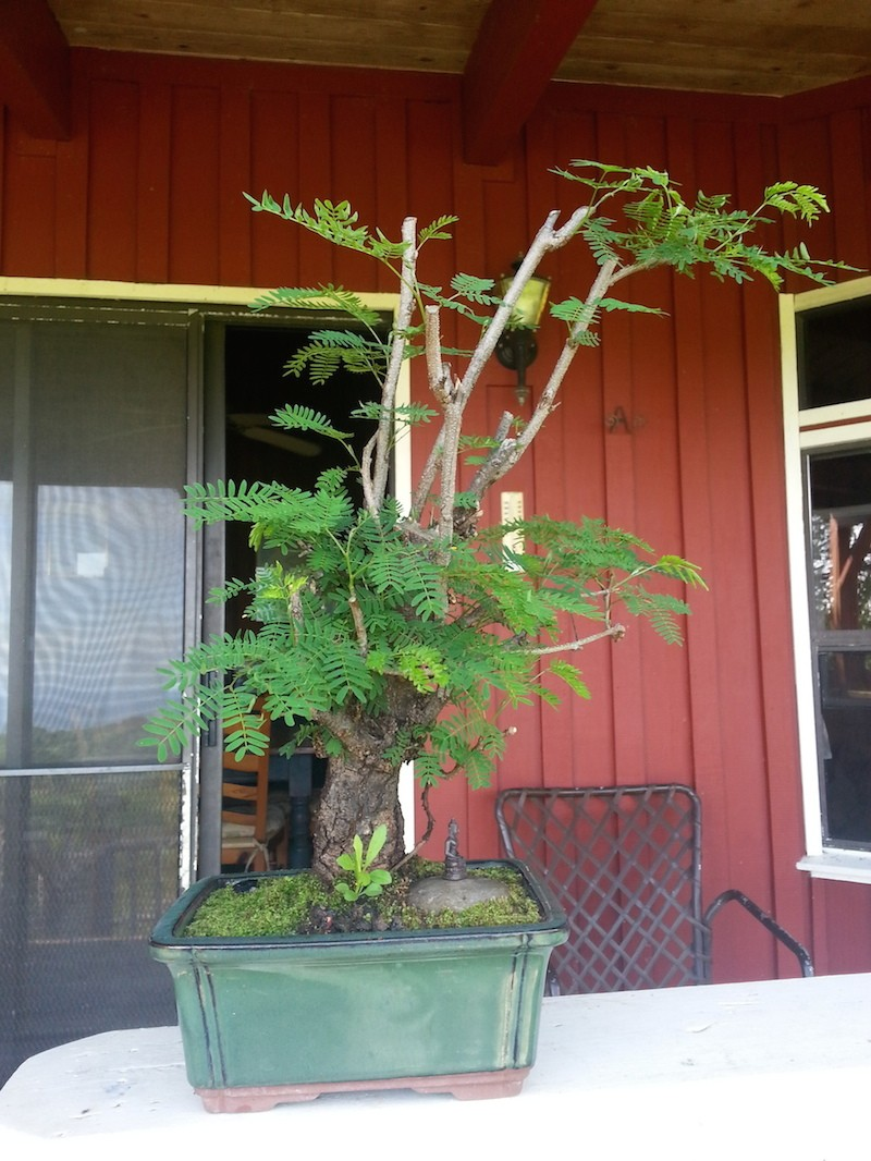 Leucaena Leucocephala (aka Mimosa, Haole koa) progression from Yamadori 20140515
