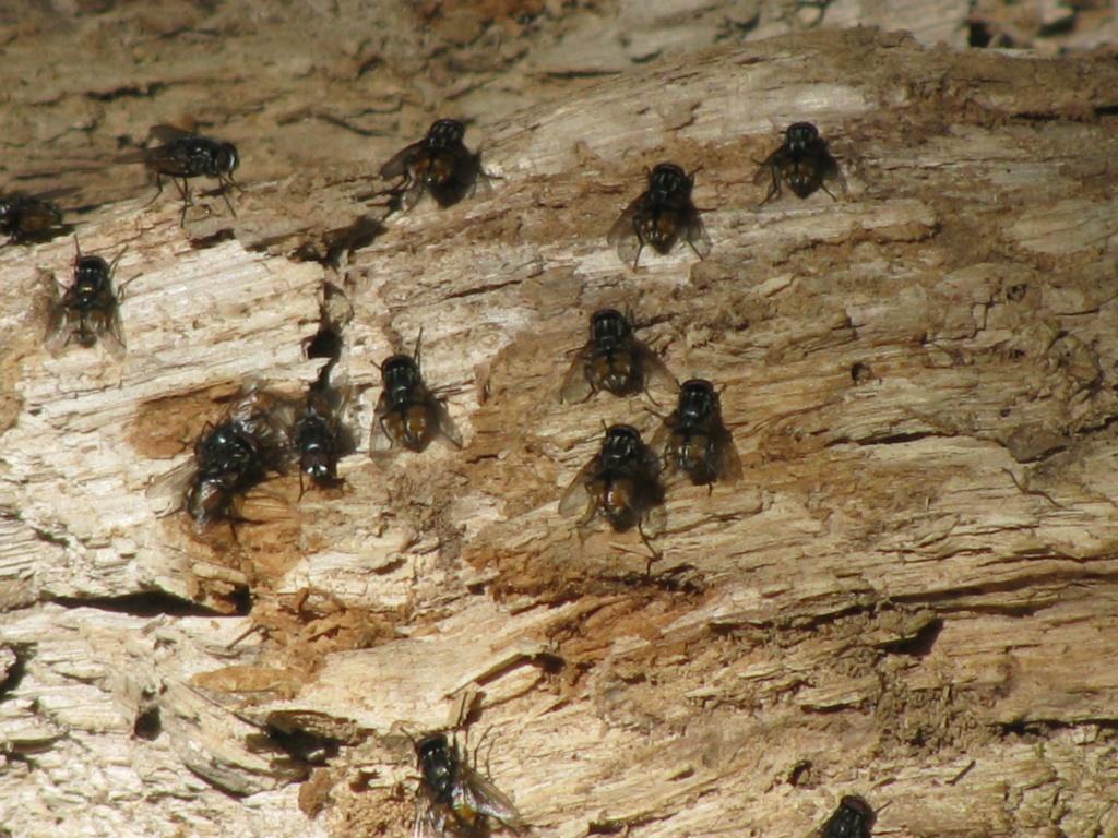 Eristales ou mouches ? Img_9512