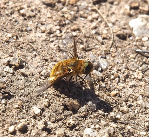 Oestridae ? P8010011