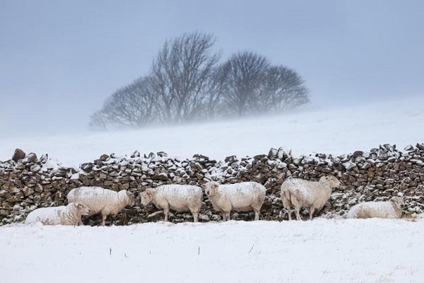Bon Mercredi Sheep-10