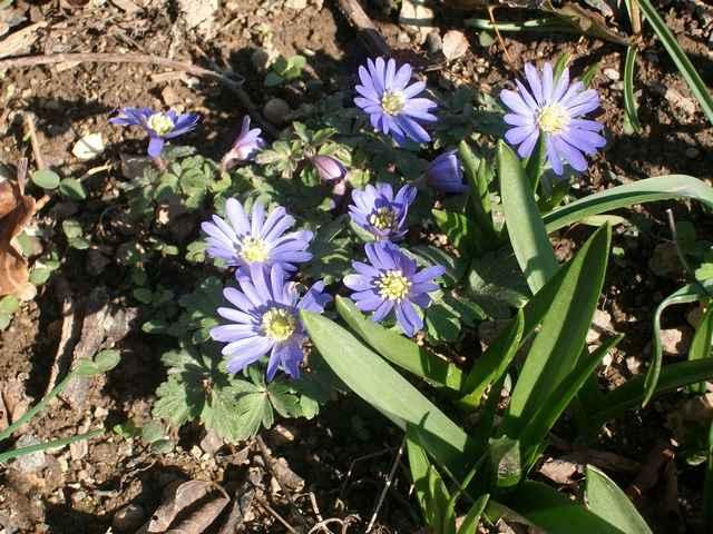 Blue..........bleu !!! - Page 14 Anemon15