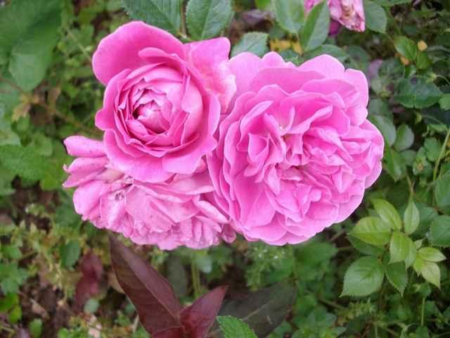 Rosa 'Blue Boy' !!! Blue_b10