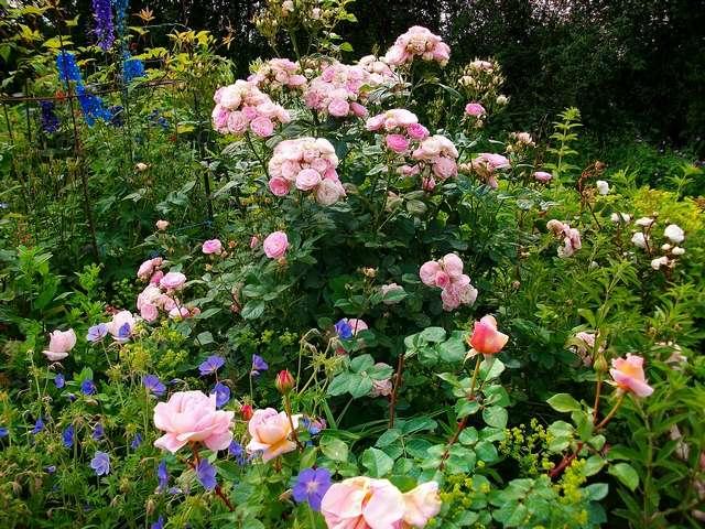 Rosa 'Bouquet Parfait' !!! - Page 7 Juin_010