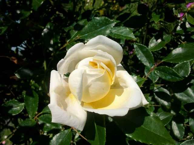 Rosa 'Albéric Barbier' !!! - Page 2 Rose_a14
