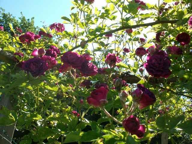 Rosa 'Blue Magenta'  - Page 4 Rose_b10