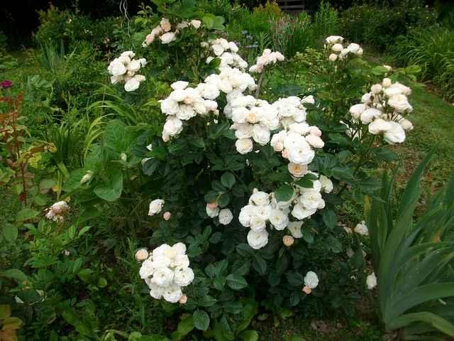 Rosa 'Bouquet Parfait' !!! - Page 7 Rose_b12