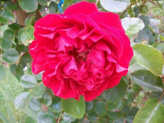 Florentina  Rose_f10