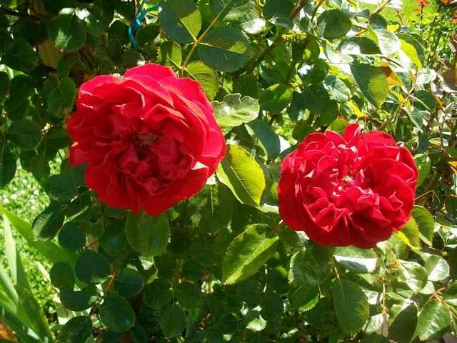 Florentina  Rose_f11
