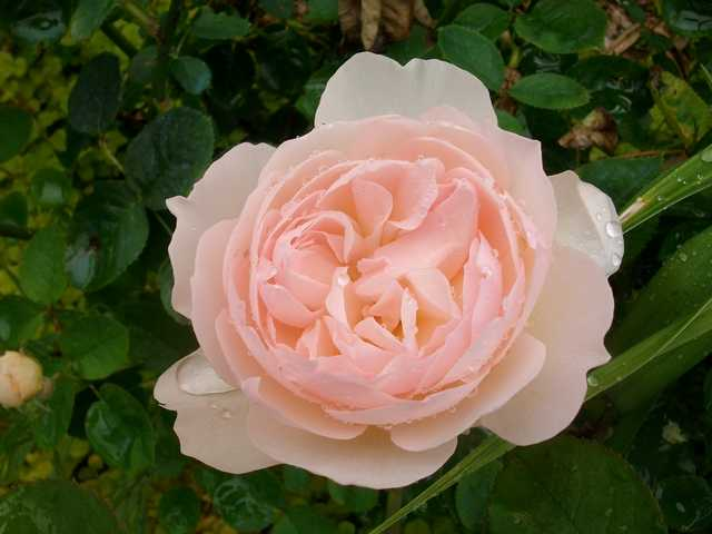 """rosa """"Gentle Hermione"""" - Page 4 Rose_g13"""