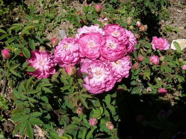 Rosa Pompon de Bourgogne !!! - Page 2 Rose_p15