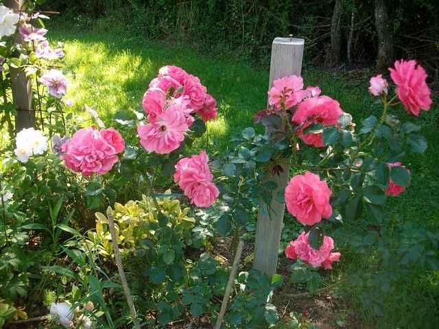 Rosarium Uetersen - Page 4 Rose_u10