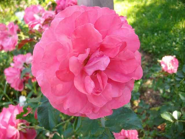Rosarium Uetersen - Page 4 Rose_u11