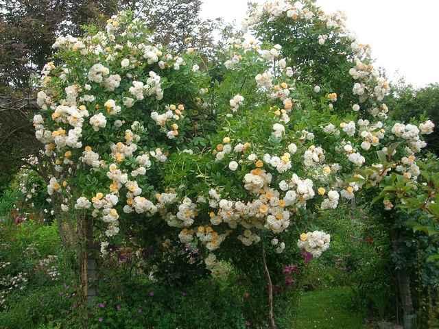 Rosa 'Ghislaine de Féligonde !!! - Page 9 Roses_10