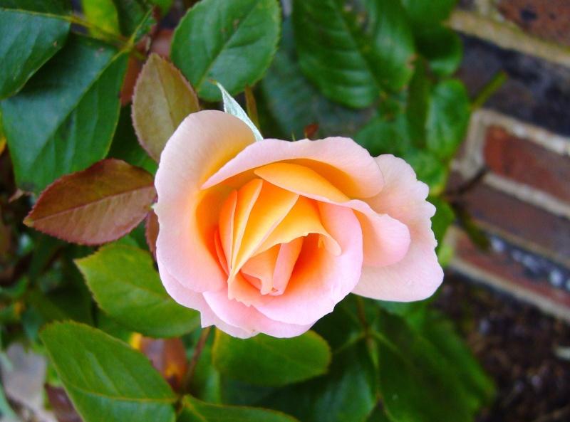 Bien reçus Rose_r10