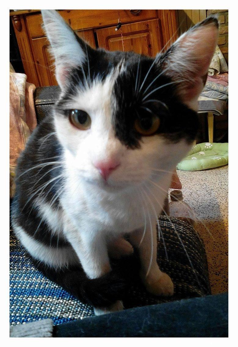 MACHA, très belle chatte junior de 8 mois, noire et blanche - Page 2 18042710