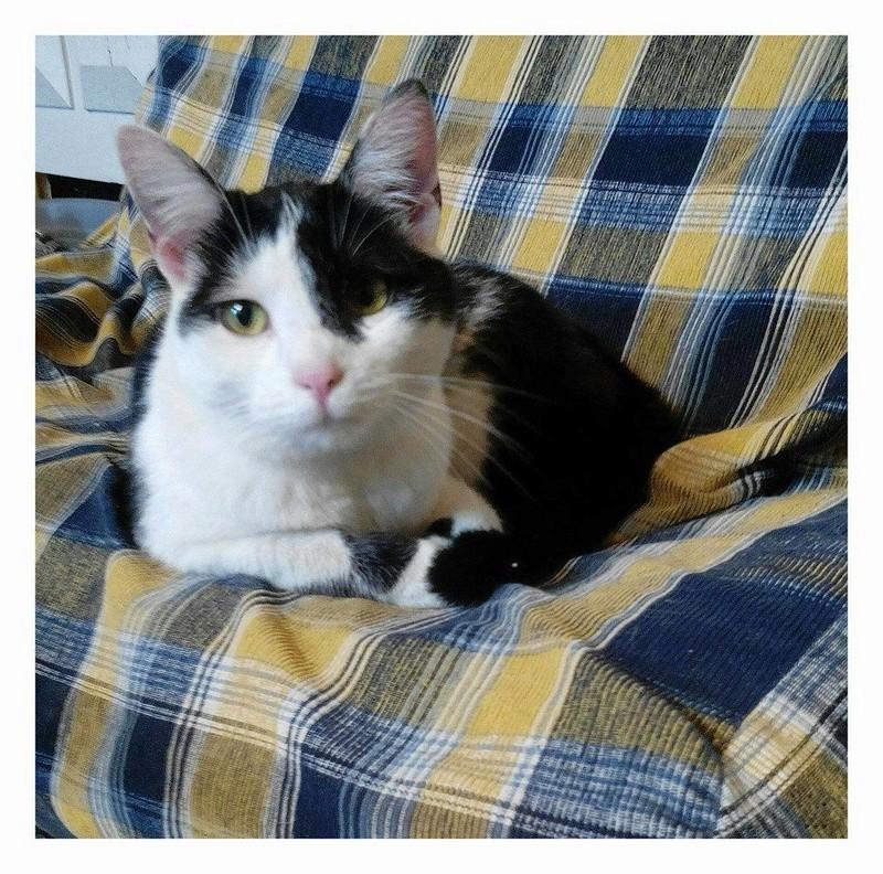 MACHA, très belle chatte junior de 8 mois, noire et blanche - Page 2 18049710
