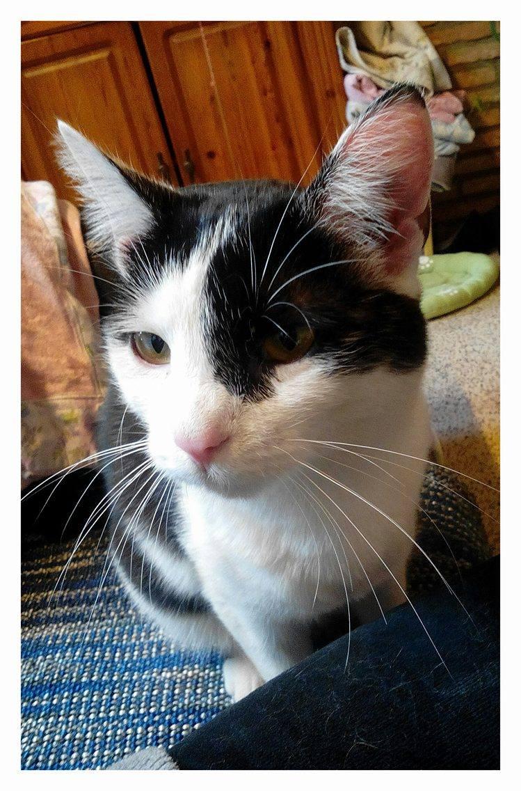 MACHA, très belle chatte junior de 8 mois, noire et blanche - Page 2 18052310