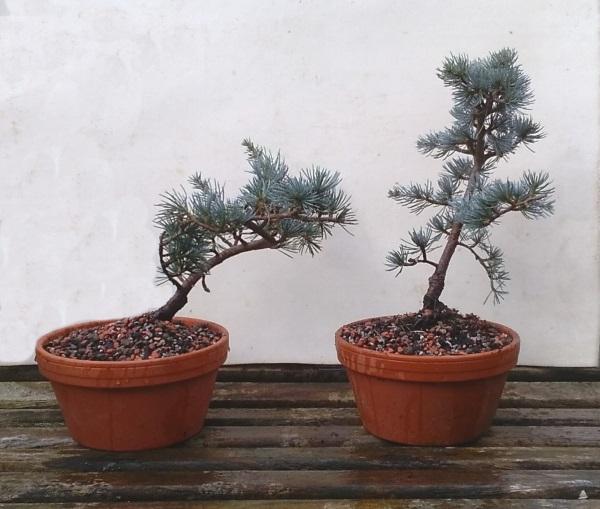 Blue Atlas Cedar (Cedrus atlantica 'glauca') Progression Cedar_10
