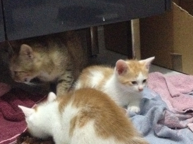 Portée 4 chatons Img_3155
