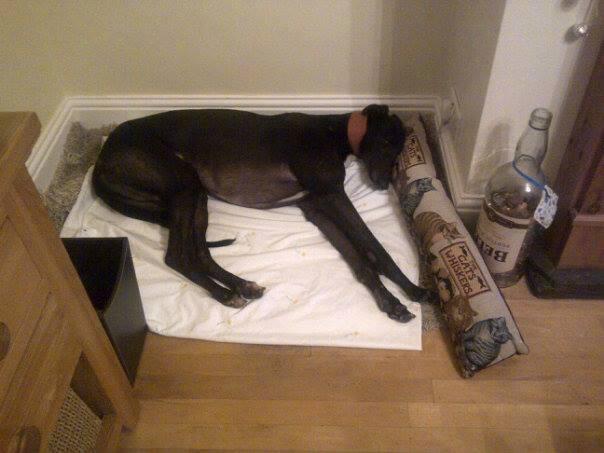 Gent - 4 year old black greyhound 10112310