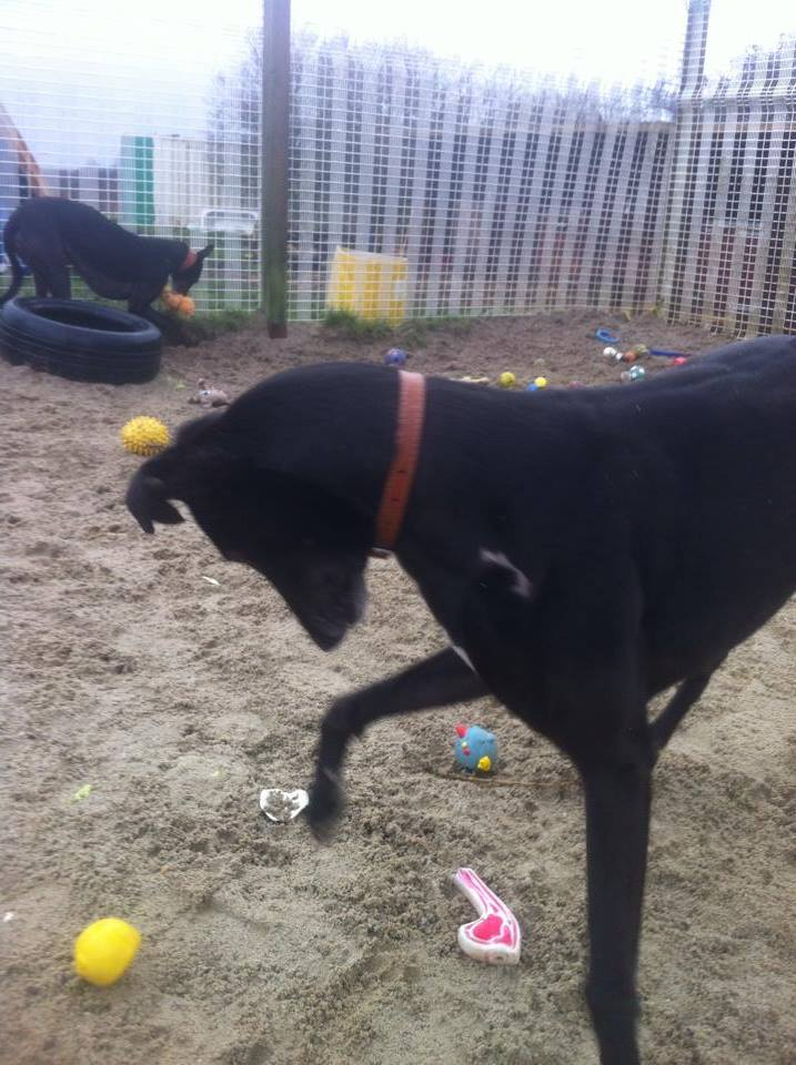 Lucky, 3 1/2 year old Greyhound 10133110