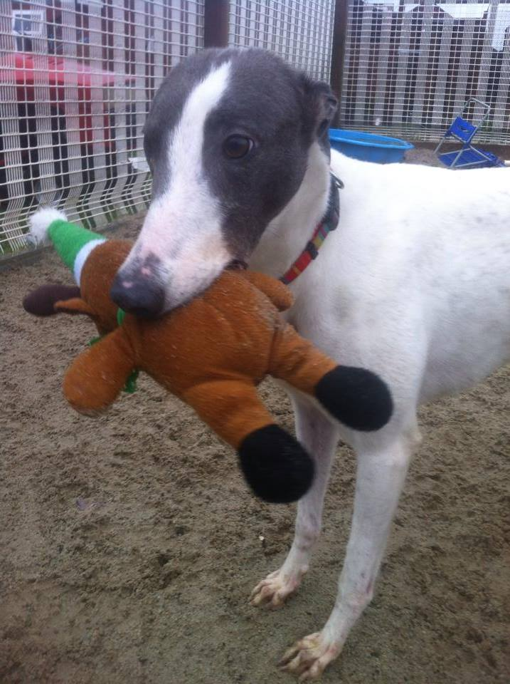 Lady, 4 year old Grey & White Greyhound 13834510