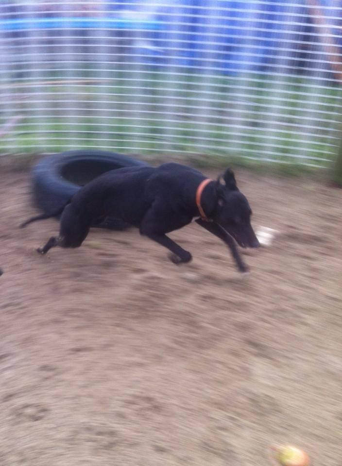 Gent - 4 year old black greyhound 18885510