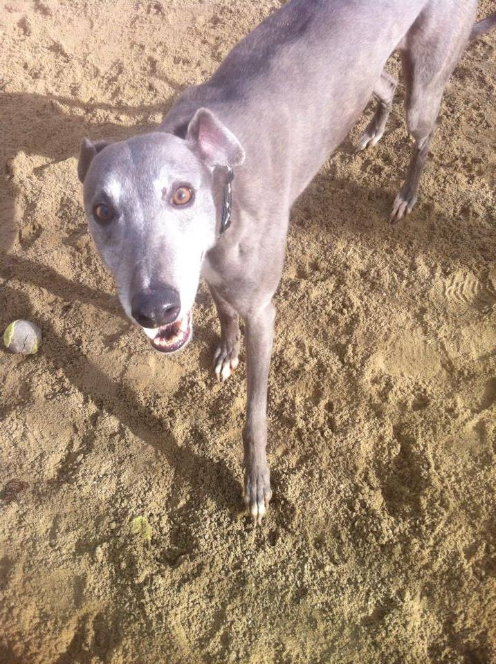 Ash - 5 year old Blue Greyhound 19596111