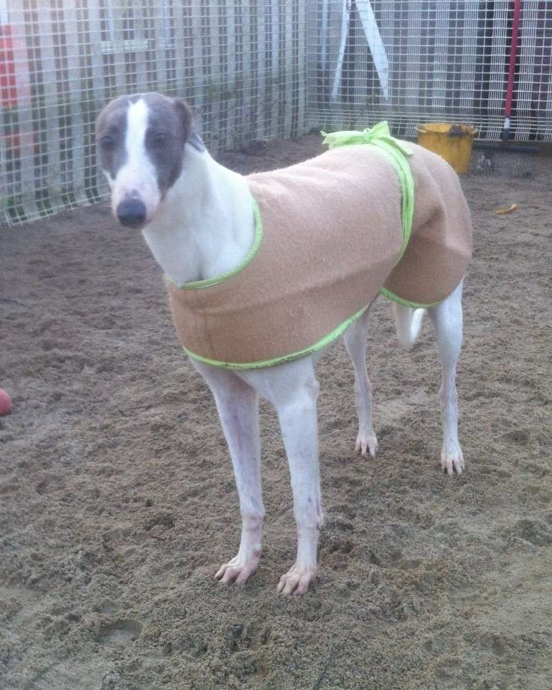 Lady, 4 year old Grey & White Greyhound Lady211