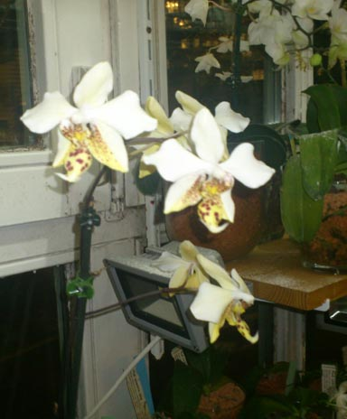 Phalaenopsis stuartiana Phal_s10