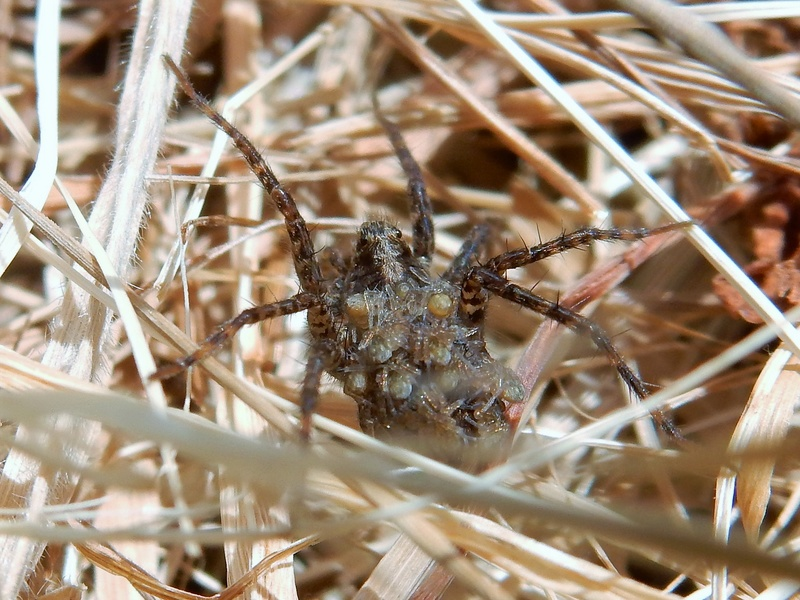 Pardosa sp - Je pense que mère porteuse est approprié ^_^ Myre_p10