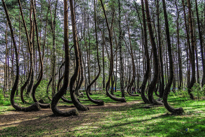 crooked forest - poland Crooke10