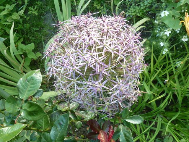 Allium - quelques espèces & variérés Allium11