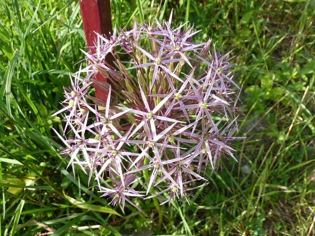 Allium - quelques espèces & variérés Allium12