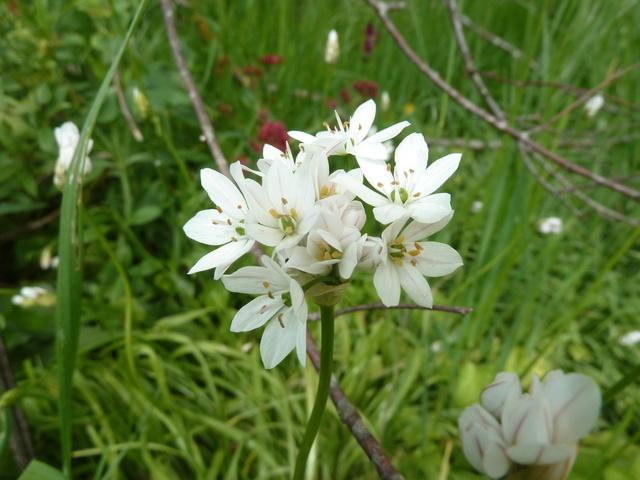Allium - quelques espèces & variérés Allium14