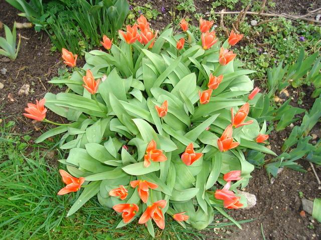 Tulipes : botaniques ou pas ?? Dsc00910
