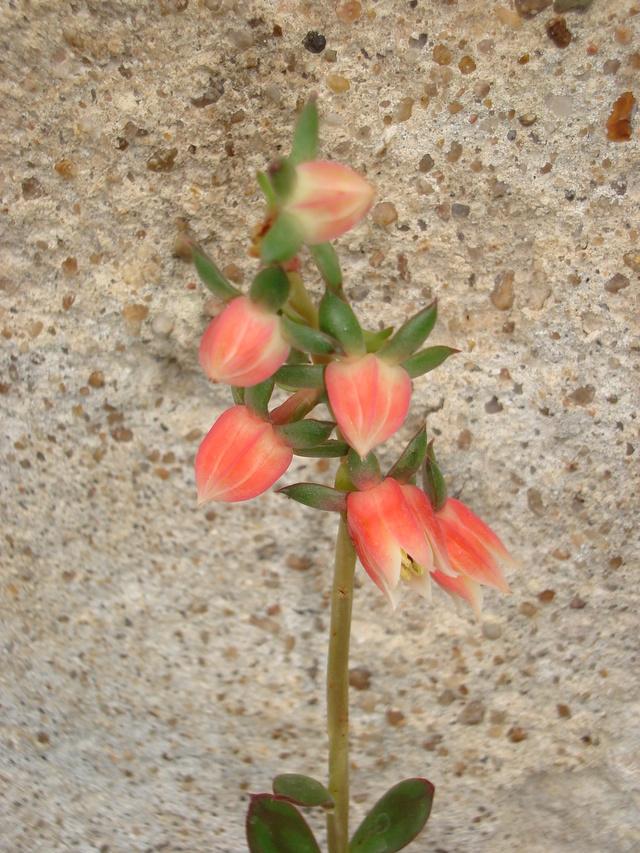 Echeveria nodulosa - Page 2 Dsc02410