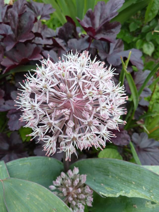 Allium - quelques espèces & variérés P1040810