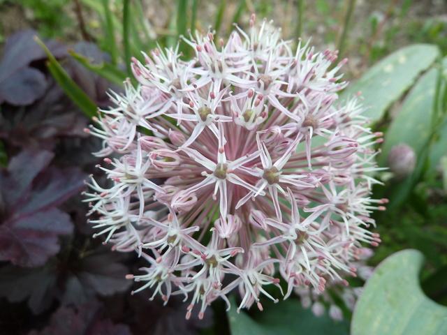 Allium - quelques espèces & variérés P1040811