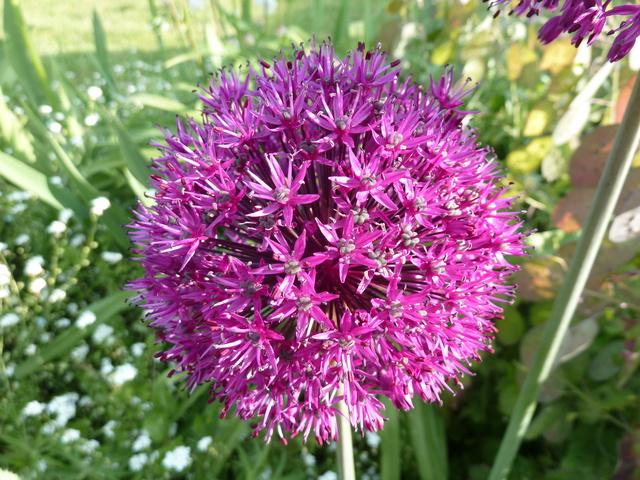 Allium - quelques espèces & variérés P1050010