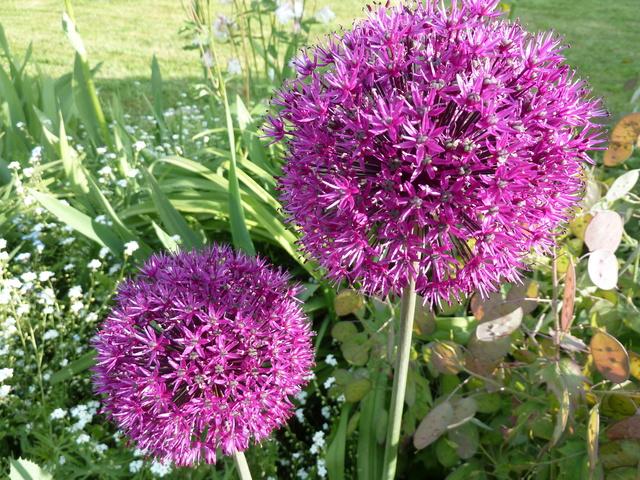 Allium - quelques espèces & variérés P1050011