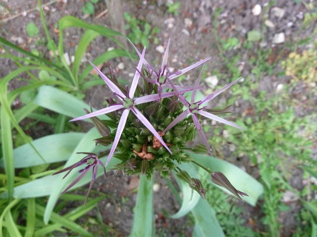 Allium - quelques espèces & variérés P1160510