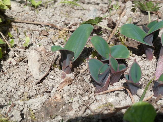 Allium - quelques espèces & variérés P1280213