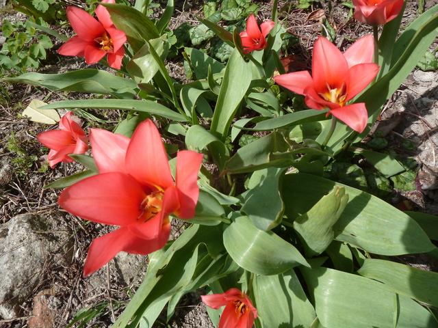 Tulipa - espèces et petits hybrides (sections 12 à 15) - Page 6 P1280214